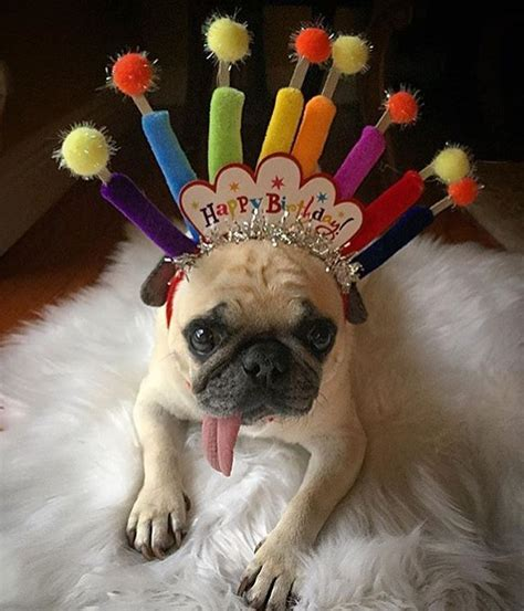 pug birthday best 25 happy birthday pug ideas on