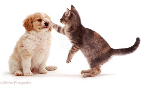 Pets: Kitten batting puppy in the face photo WP05807
