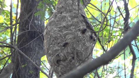 Lebah Maxy madu gunung tawon ndas estib post smpn 3 bayat klaten