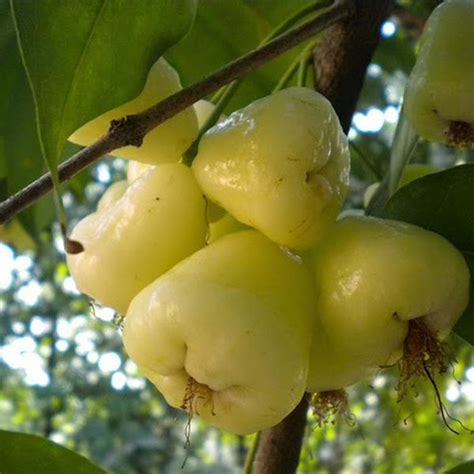 hybrid fruit tree water apple hybrid white fruit plants tree exoticflora