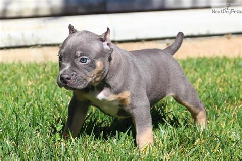 pocket american bully puppies blue bully pocket puppies breeds picture