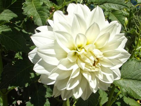 australian dahlias and tubers varieties of stunning white dahlias