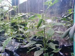 Benih Bawang Merah Terbaik cara menanam cabai merah pot polybag tanaman bunga hias