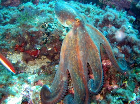 octopus l fichier octopus vulgaris 3 jpg wikip 233 dia
