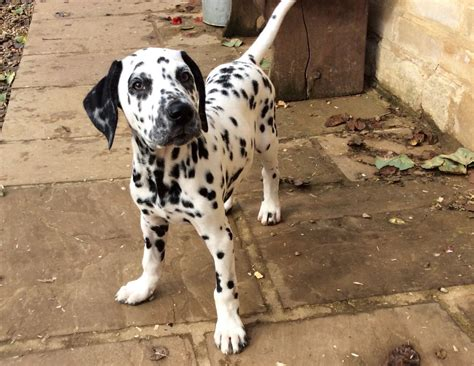 dalmatian puppies for sale dalmatian puppy for sale peterborough cambridgeshire pets4homes