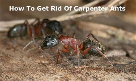 how to get rid of carpenter ants in bathroom 1000 ideas about carpenter ant damage on pinterest ant