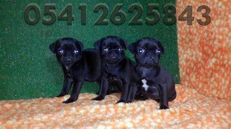 siyah pug pug yavru fiyatları 05412625853