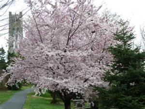 celebrating cherries the scott arboretum s garden seeds