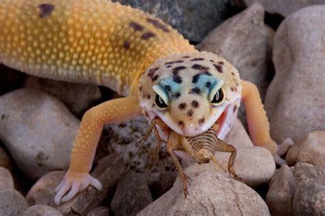 care   pet lizard caring pets