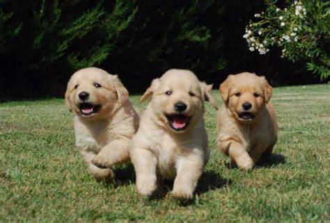 golden retriever precio cachorros beb 233 s golden retriever imagui