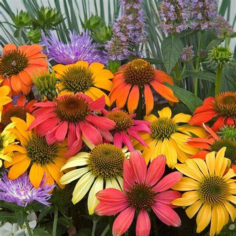 coneflower cheyenne spirit echinacea sun perennial mixed colors