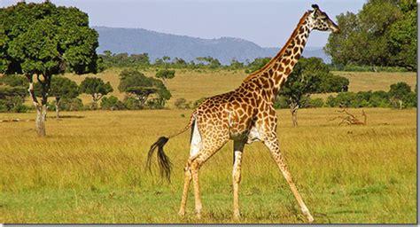 imagenes con jirafas natura curiosa curiosidades sobre las jirafas