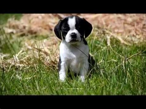 trading post pug puppies puggle pug x beagle puppies for sale in hoppers crossing vic puggle pug x beagle