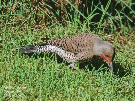northern flicker woodpecker diet www imgkid com the