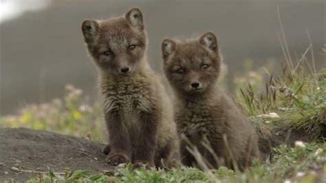 le renard dans l ile renard polaire jeune b 234 te arctique hd stock video 155 309 548 framepool rightsmith