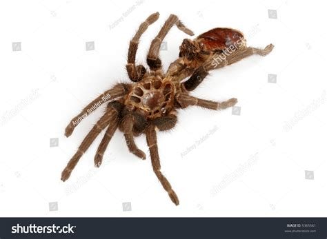 tarantula shed exoskeleton stock photo 5365561