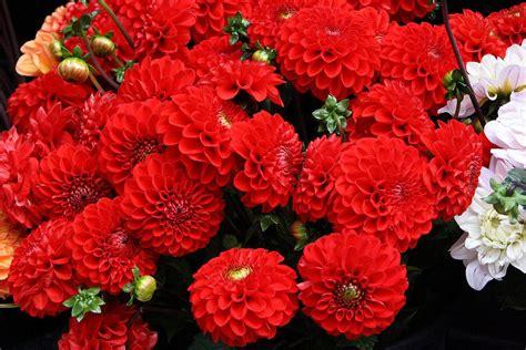 imagenes de flores rojas y blancas flores rojas dalias im 225 genes y fotos