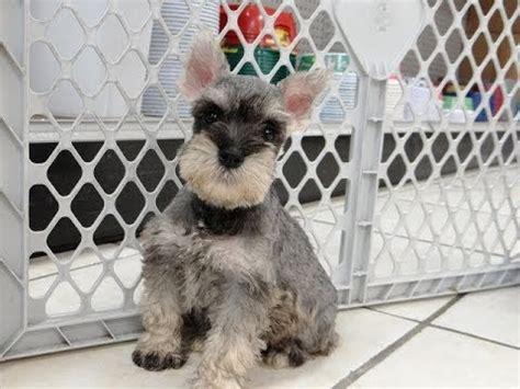 miniature schnauzer puppies dogs  sale