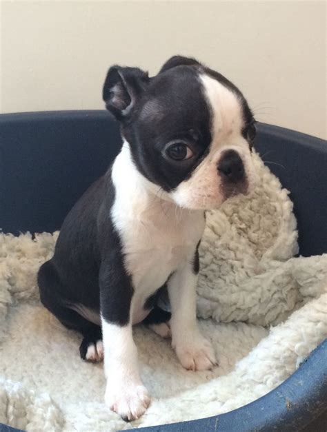 boston terrier puppies for sale in michigan boston terriers for sale