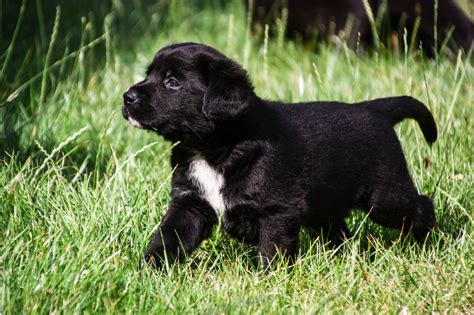 labernese puppies labernese pups bernese mountain x labrador wisbech cambridgeshire pets4homes