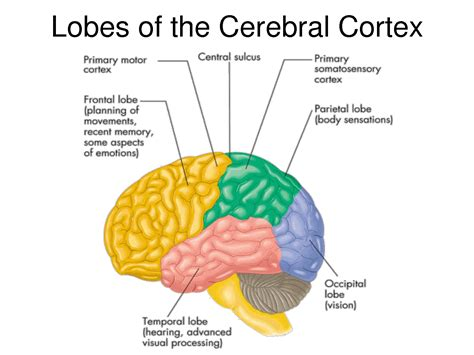 brain lobes diagram parts of the brain cerebral cortex www imgkid the