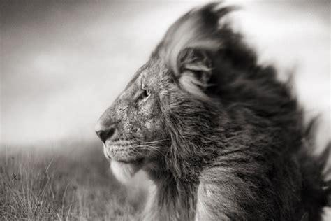 imagenes de leones blanco y negro le 243 n en blanco y negro 80699