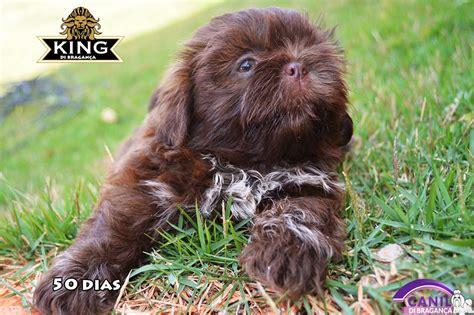 shih tzu filhote chocolate filhote shih tzu chocolate s 243 lido canil di bragan 231 a pedigree r 1 100 00 em