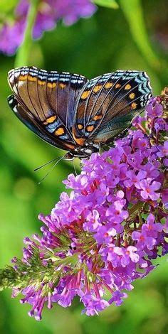 hisd background check cecropia moth check the side profile the