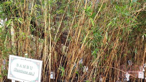 Bibit Sengon Di Kalimantan p3e berhasil tanam 75 persen bibit bambu di kalimantan cendana news