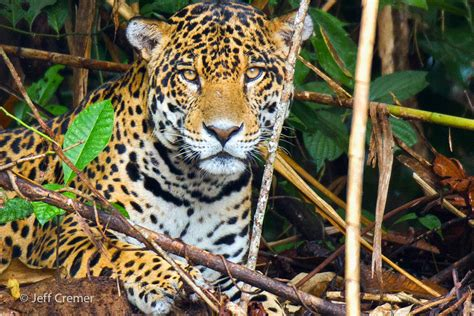 how many babies does a jaguar jaguar of south america central america
