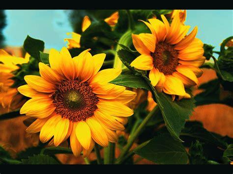 wallpaper bunga untuk laptop wallpaper foto dan gambar bunga cantik untuk laptop