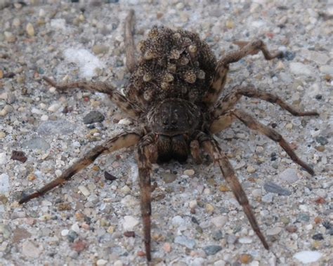 wolf spider images wolf spiders the spider guide