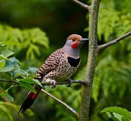 alabama state bird northern flicker