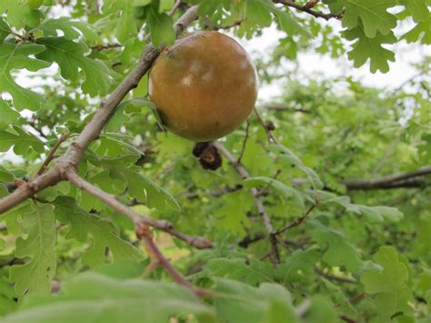 Oak Galls galls a nature study varga