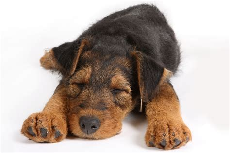 sleeping puppy pin by dogs network on sleep well