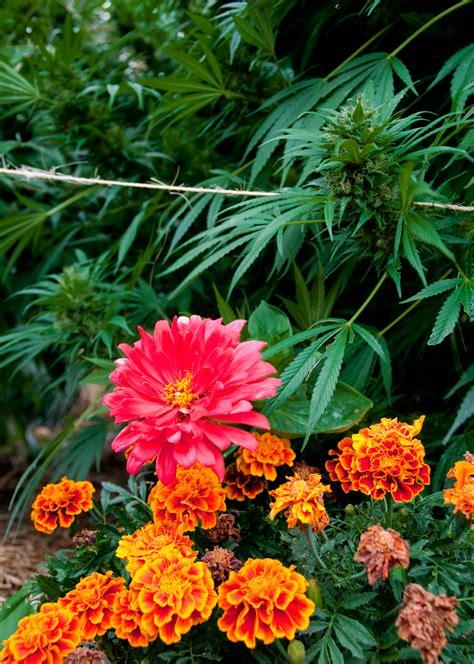 cannabis flower marijuana photos from humboldt and the whole emerald