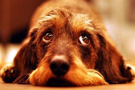 perros para vivir en un piso perros que pueden vivir en un piso 191 cu 225 les