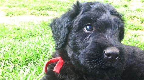 Black Russian Terrier History, Personality, Appearance