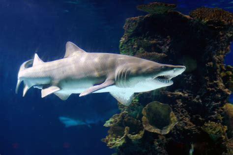baby shark zoo filhotes de tubar 245 es devoram uns aos outros no 250 tero