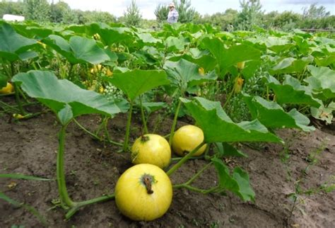 backyard cash crops low maintenance crops are worth way more than the effort