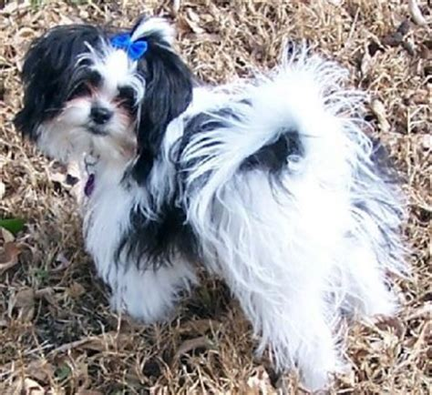 pictures of shih tzu pomeranian mix shiranian pomeranian shih tzu mix info care pictures