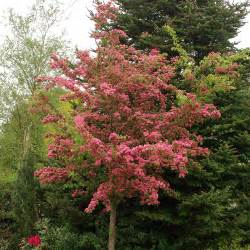 Irish Cottage Gardens - crataegus laevigata paul s scarlet hawthorn dobbies garden centres