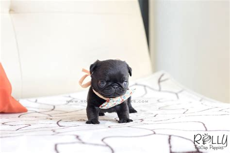 teacup pug for sale near me sold to mizrahi pobi pug m rolly teacup puppies