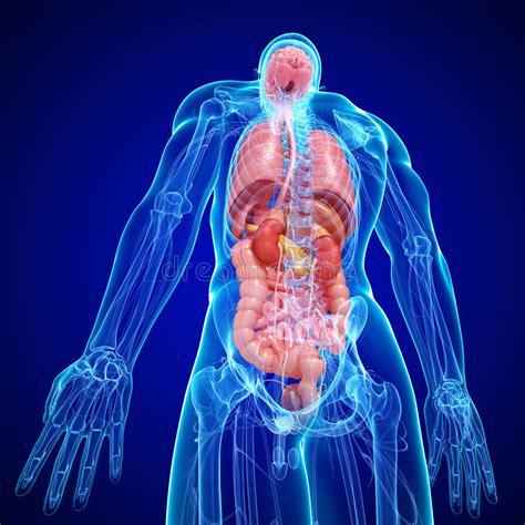 anatomia interna corpo umano anatomia della struttura interna corpo umano immagini