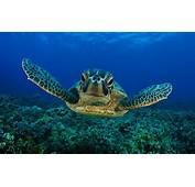 Swimming Turtle Underwater Picture
