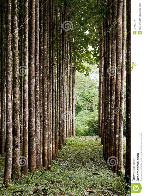 teak plantation royalty  stock images image