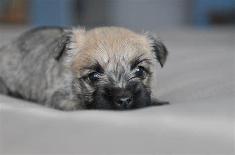 cairn puppies cairn terriers cairn terrier puppies cairn terrier breeder ontario cairn terriers