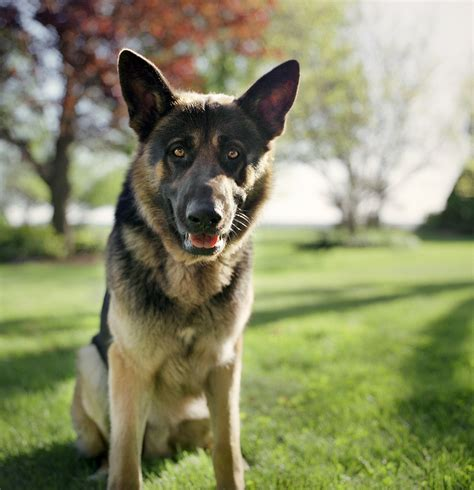 german shepherd puppies iowa german shepherd puppies iowa