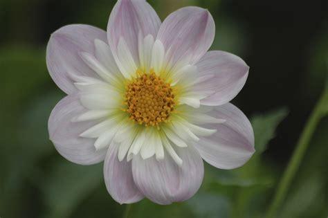 Pupuk Untuk Bunga Dahlia oldig high key atau low key berbagi tak pernah rugi