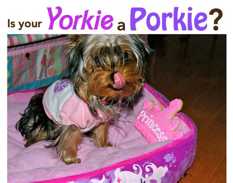 average yorkie weight average weight of a newborn yorkie dogs our friends photo
